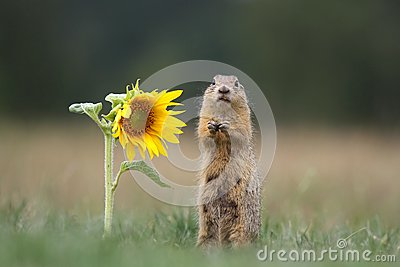 Ground squirrel by sunflower