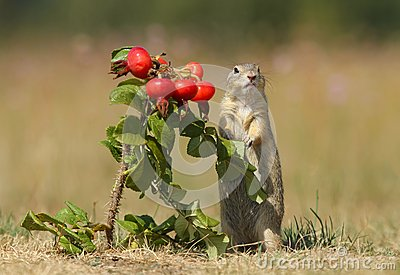 Ground squirrel and wild rose