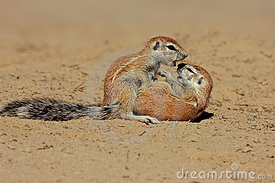 Ground squirrels, Kalahari desert, South Africa