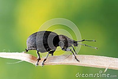 Ground Weevil