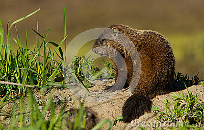 Groundhog Royalty Free Stock Images - Image: 28645659