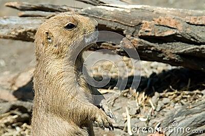 Groundhog_4