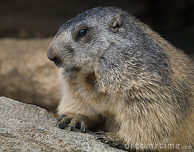 Groundhog closeup