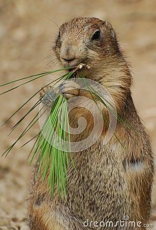Free Groundhog Eating Stock Image - 100603661
