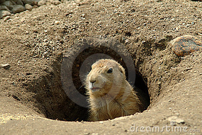 Groundhog in his hole