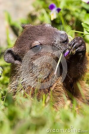 Free Groundhog Portrait Stock Photography - 85168602