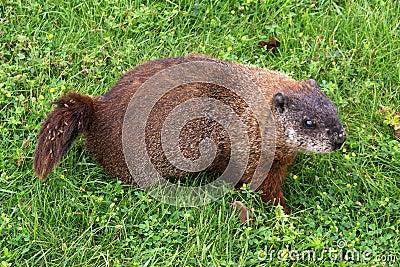Groundhog (Waldmurmeltier)