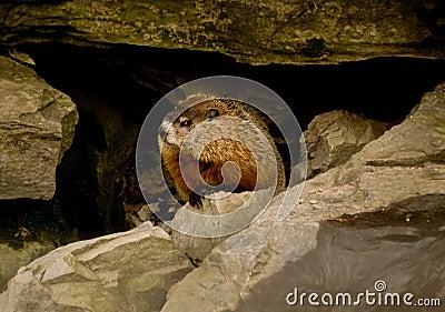 Groundhog/woodchuck