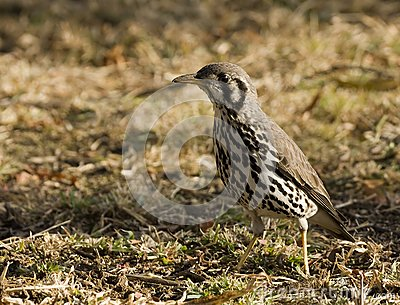 Groundscraper Thrush Stock Photos - Image: 19709033