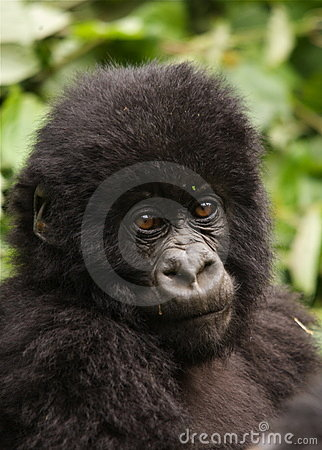Group 13 young Male Mountain Gorilla