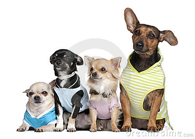 Group of 4 dogs dressed-up
