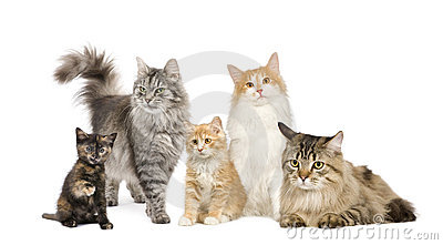 Group of 5 cats in a row : Norwegian, Siberian and