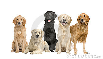 Group of 5 golden retriever and labrador facing th
