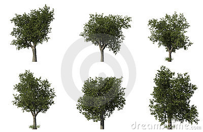 Group of 6 CG oak trees