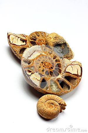 Group of Ammonite Fossils