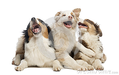 Group of Australian Shepherd lying and playing