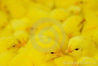 Group of baby chicken