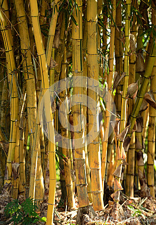 Group of bamboo plants growing in the rainforest