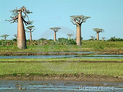 Group of baobabs - some noise visible