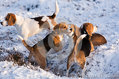A group of Beagles