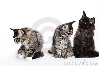 Group of beautiful Maine Coon kittens