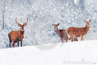 A group of beautiful male and female deer in the snowy white forest. Noble deer Cervus elaphus. Artistic Christmas winter image