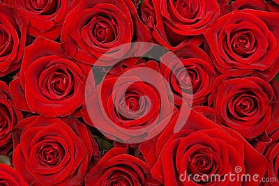 Group of beautiful red roses