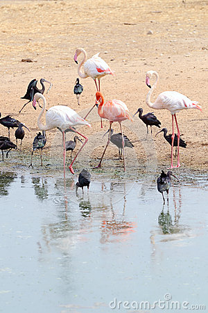 Flamingos and Ibises