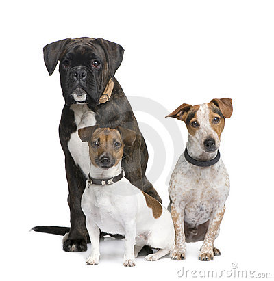 Group of three dogs Boxer, Jack russell and a crossbreed in front of a