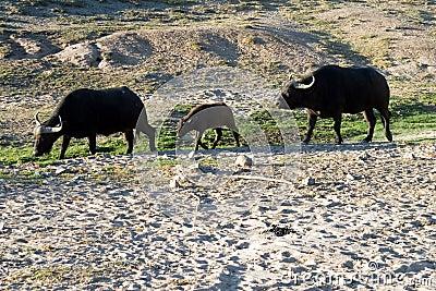 Group of Buffalo