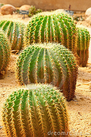 Group of cactus