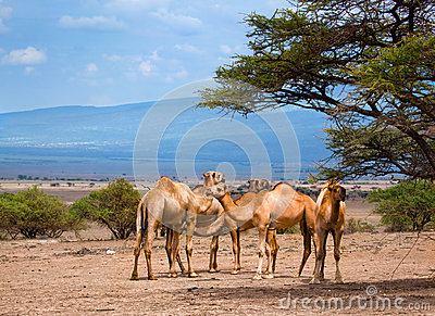Group of camels in Africa