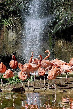 Group of Carribean flamingos