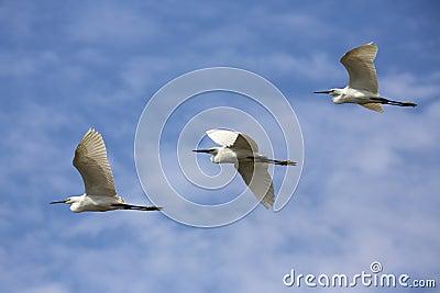 Cattle Egrets in Flight