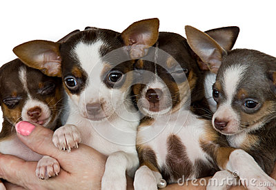 Group of chihuahuas.