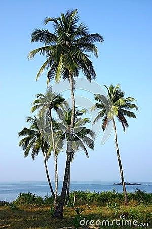 Group of coconut palm plantation