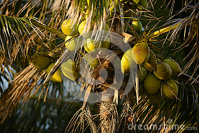 A group of coconuts growing on a palm tree