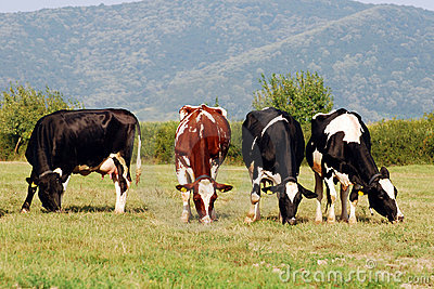 Group of cows grazing on a field