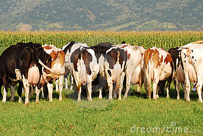 Group of Cows grazing on field - behind picture