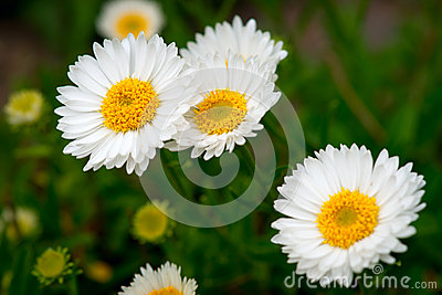 Group of Daisies Closeup