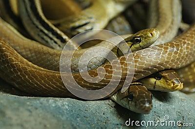 Group of danger snakes