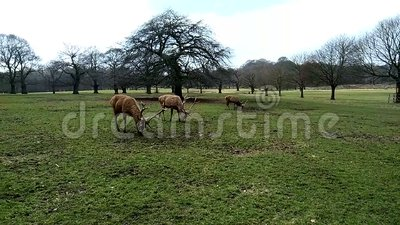 Group of three deer eating grass in the Wollaton Hall Park in Nottingham, United Kingdom. stock footage
