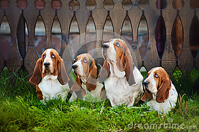 Group of dogs basset hound sitting on the grass