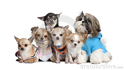 Group of dogs dressed-up : 5 chihuahuas and a  Shi