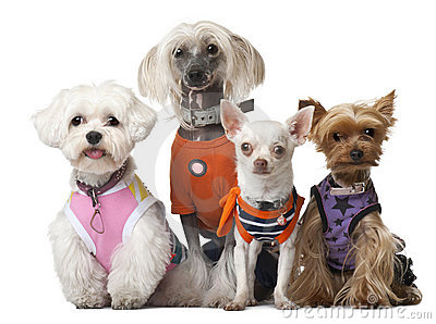 Group of dressed dogs in front of white