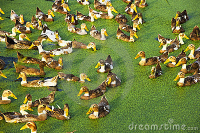 A group of duck