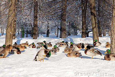 Group of ducks on snow