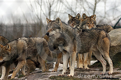 Group of european gray wolves