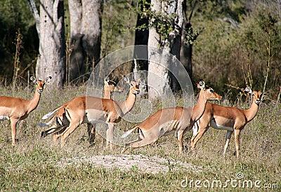 Group of female impala