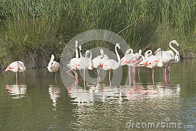 Group of flamingos standing in the lake.